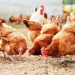 Informacja dla hodowców drobiu