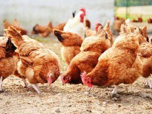 Więcej o: Informacja dla hodowców drobiu