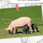 Badanie pogłowia świń