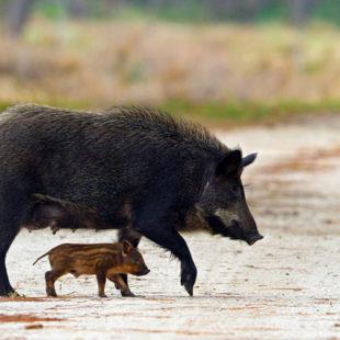 Więcej o: Informacja wsprawie afrykańskiego pomoru świń